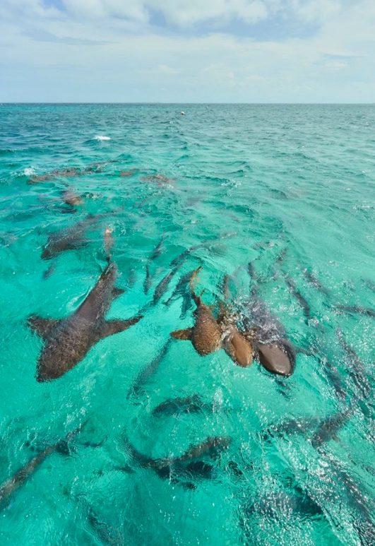 duiken-nurse-shark
