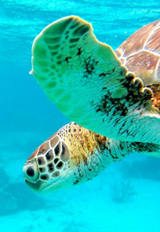 duiken-schildpad
