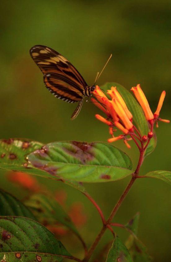pooks-hill-vlinder
