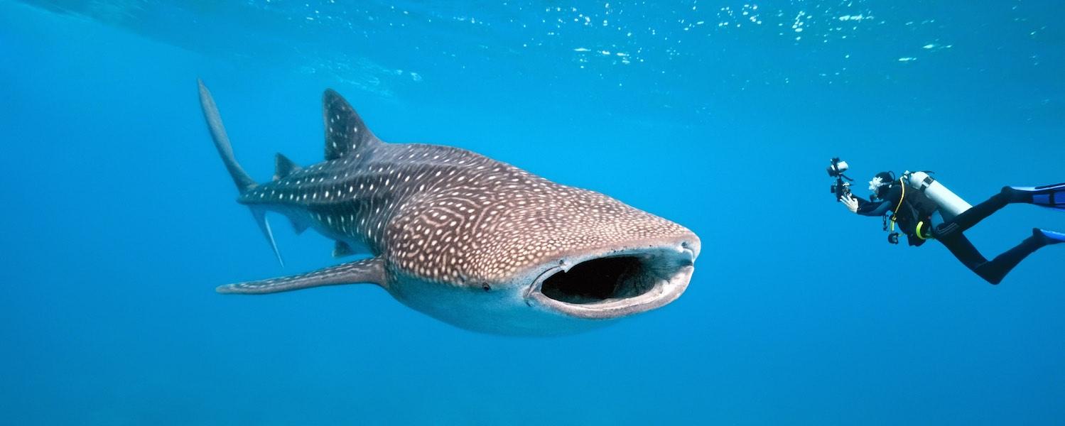 Walvishaai-duiken-belize