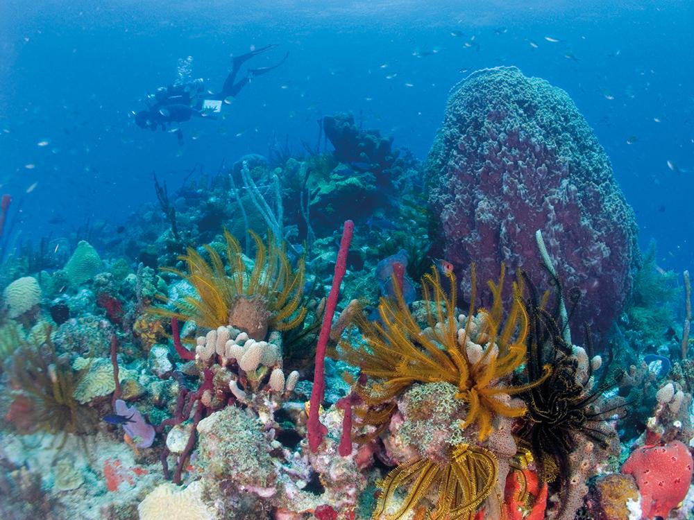 koraal-dominica