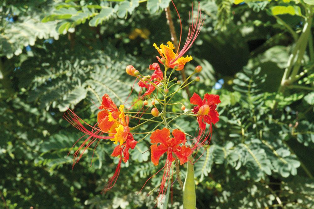 St. Lucia bloemen